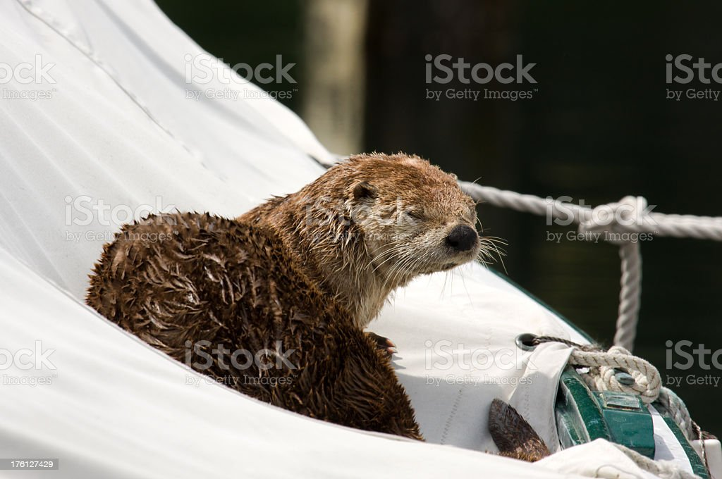 River Otter in a Sailboat with Yoda Pose stock photo