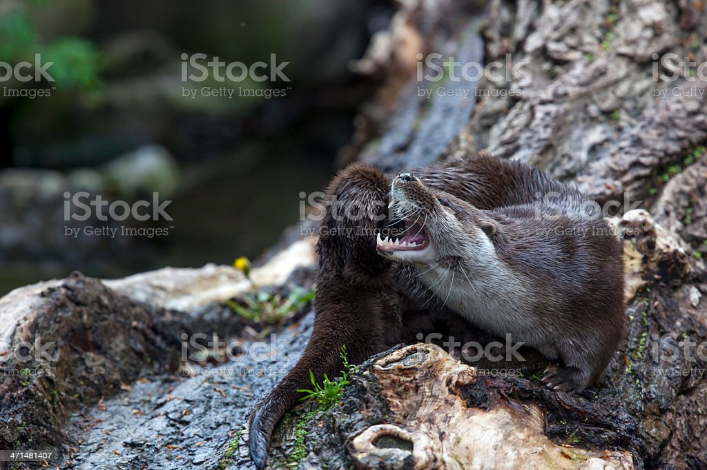 River Otter on a trunk stock photo