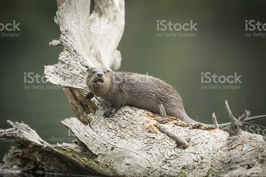 River otter on log in Trout Lake, Yellowstone National Park stock photo