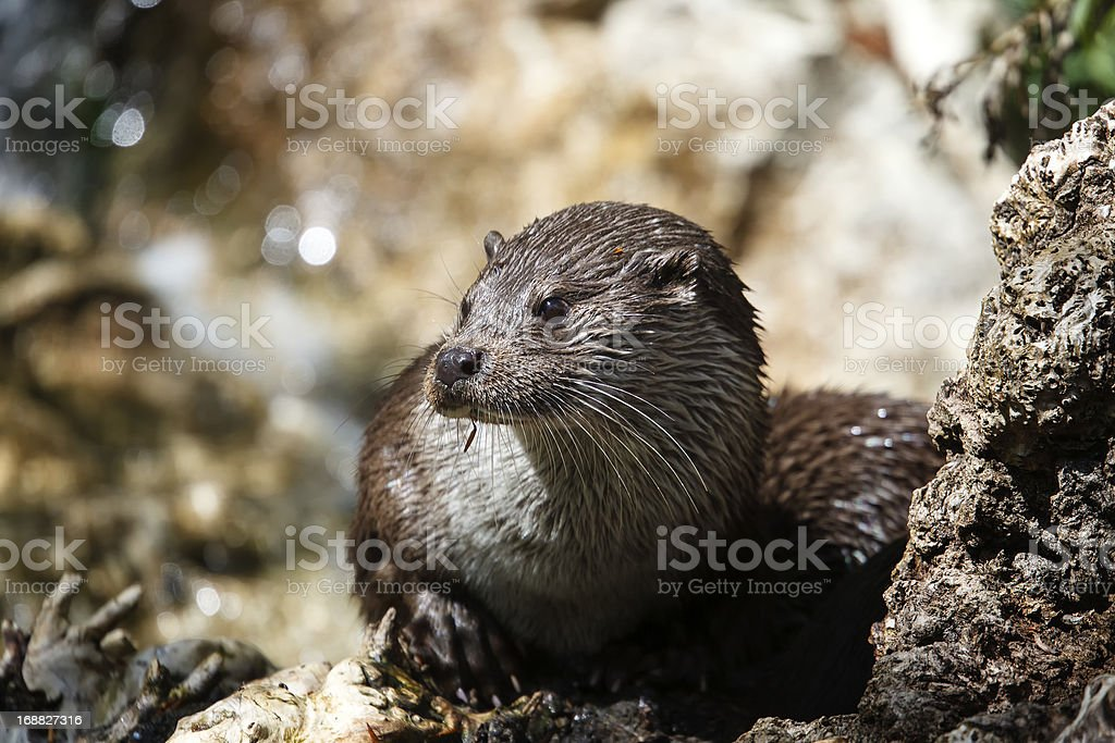 River Otter royalty-free stock photo