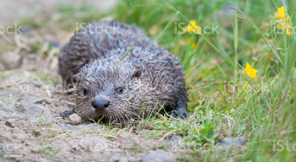 River otter stock photo