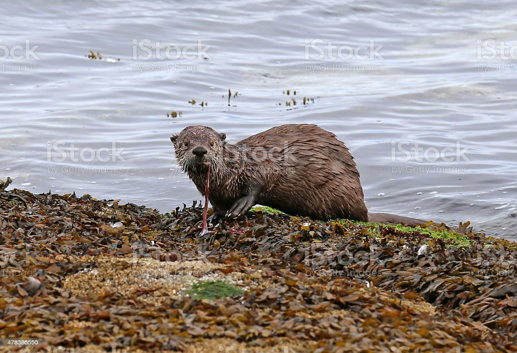 River Otter Snacking stock photo
