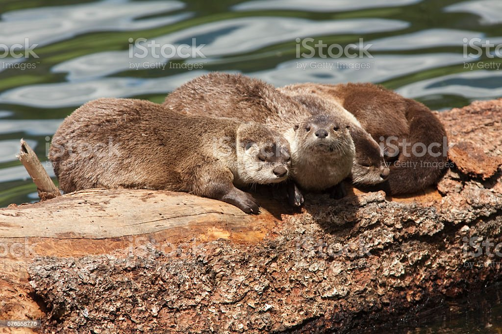 River otter trio sleep floating log Yellowstone National Park Wyoming stock photo