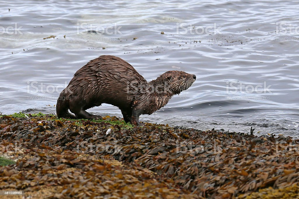 River Otter with Arched Back stock photo