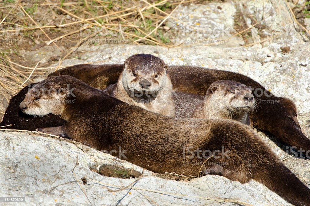 River Otters Family - Sunning stock photo