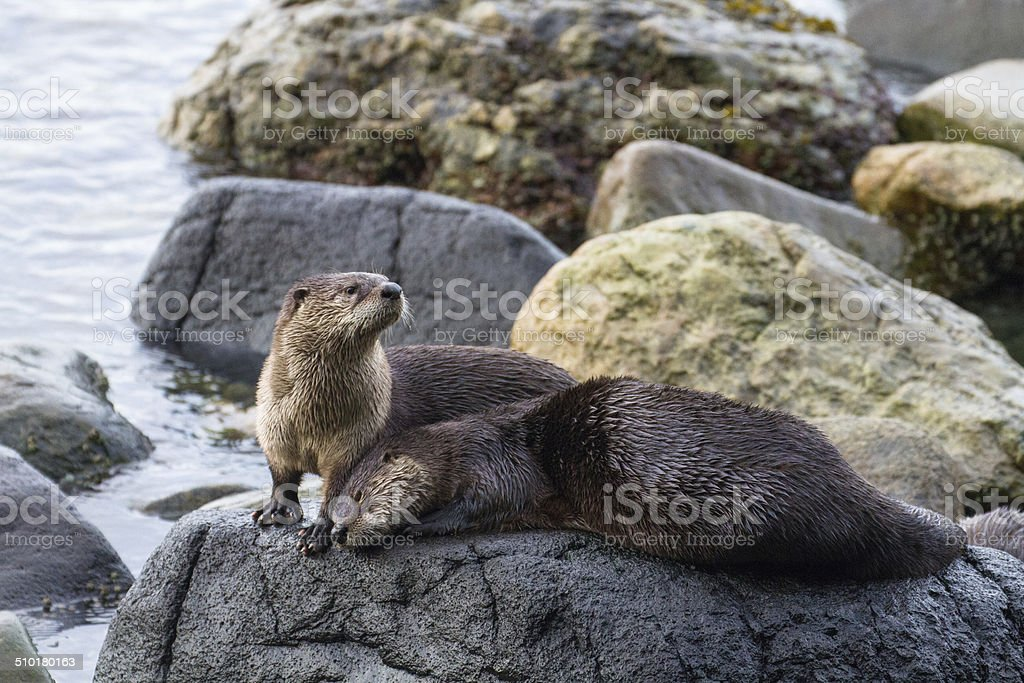 River Otters stock photo