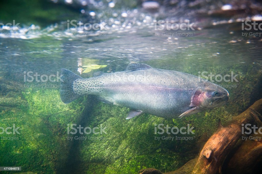 River Rainbow Trout royalty-free stock photo