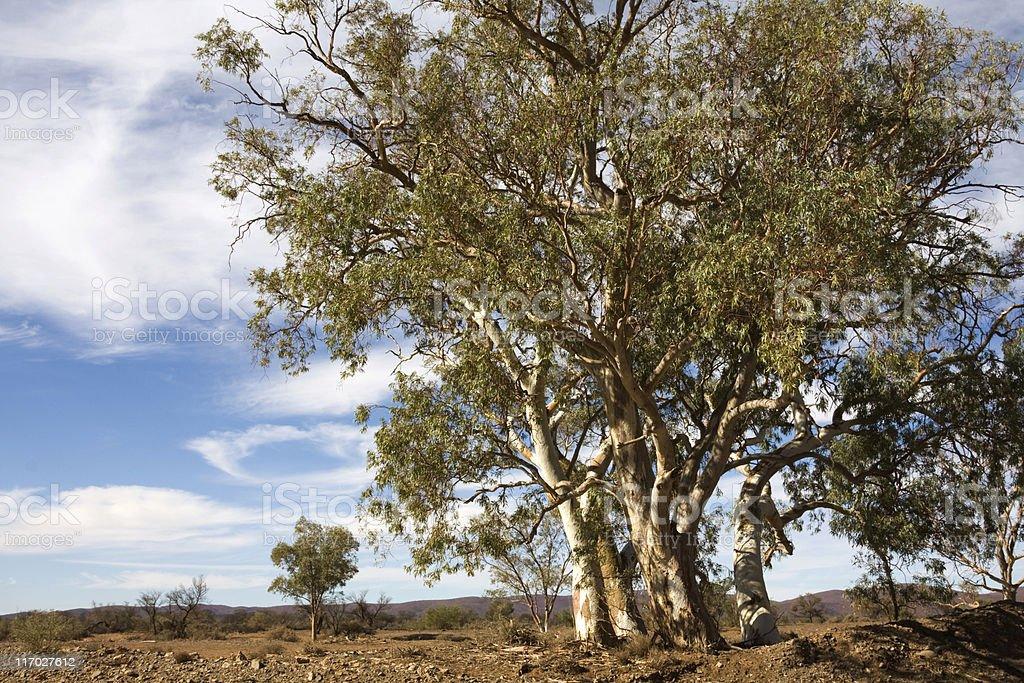 River red gum (Eucalyptus camaldulensis) royalty-free stock photo