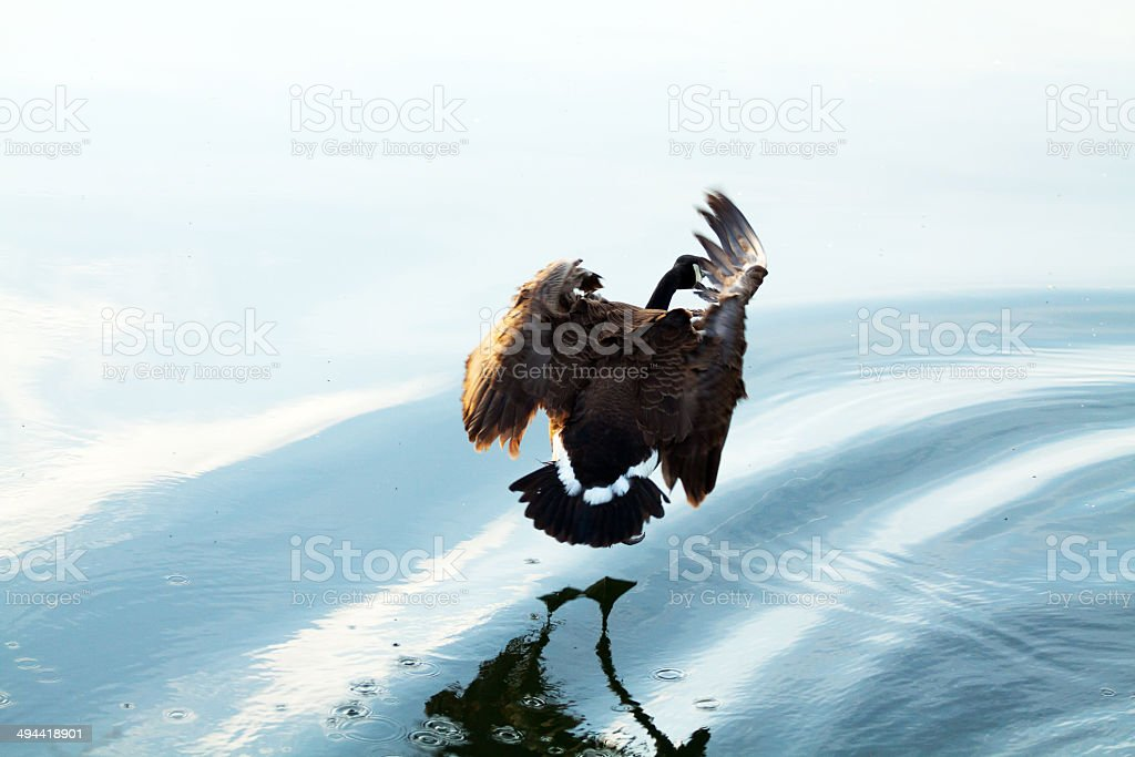 River Ruhr and canadian goose stock photo