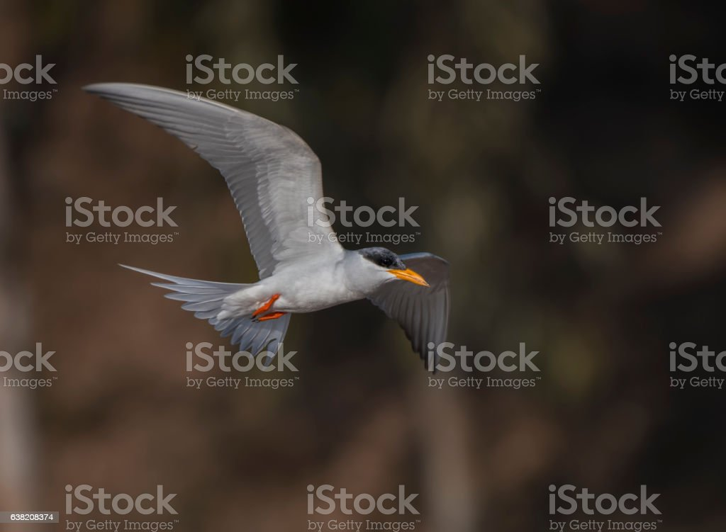 River Tern flying in the morning stock photo