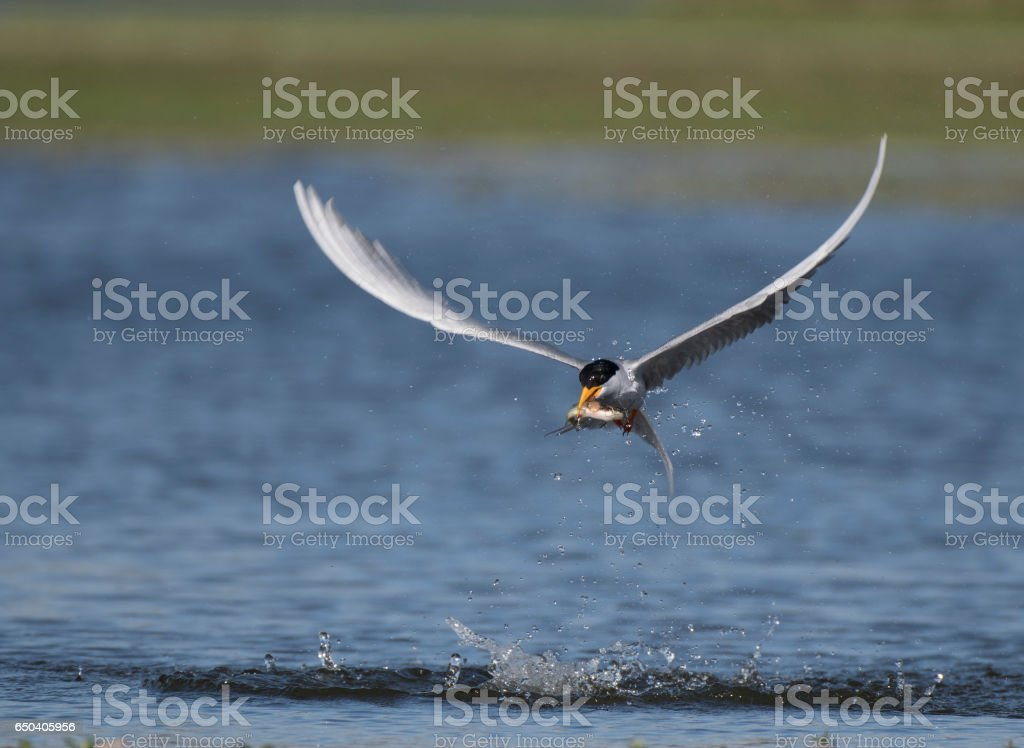 River tern with fish stock photo