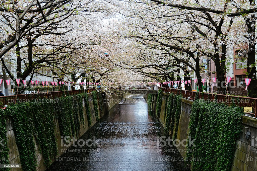 Riverbank with Cherry Flowers stock photo