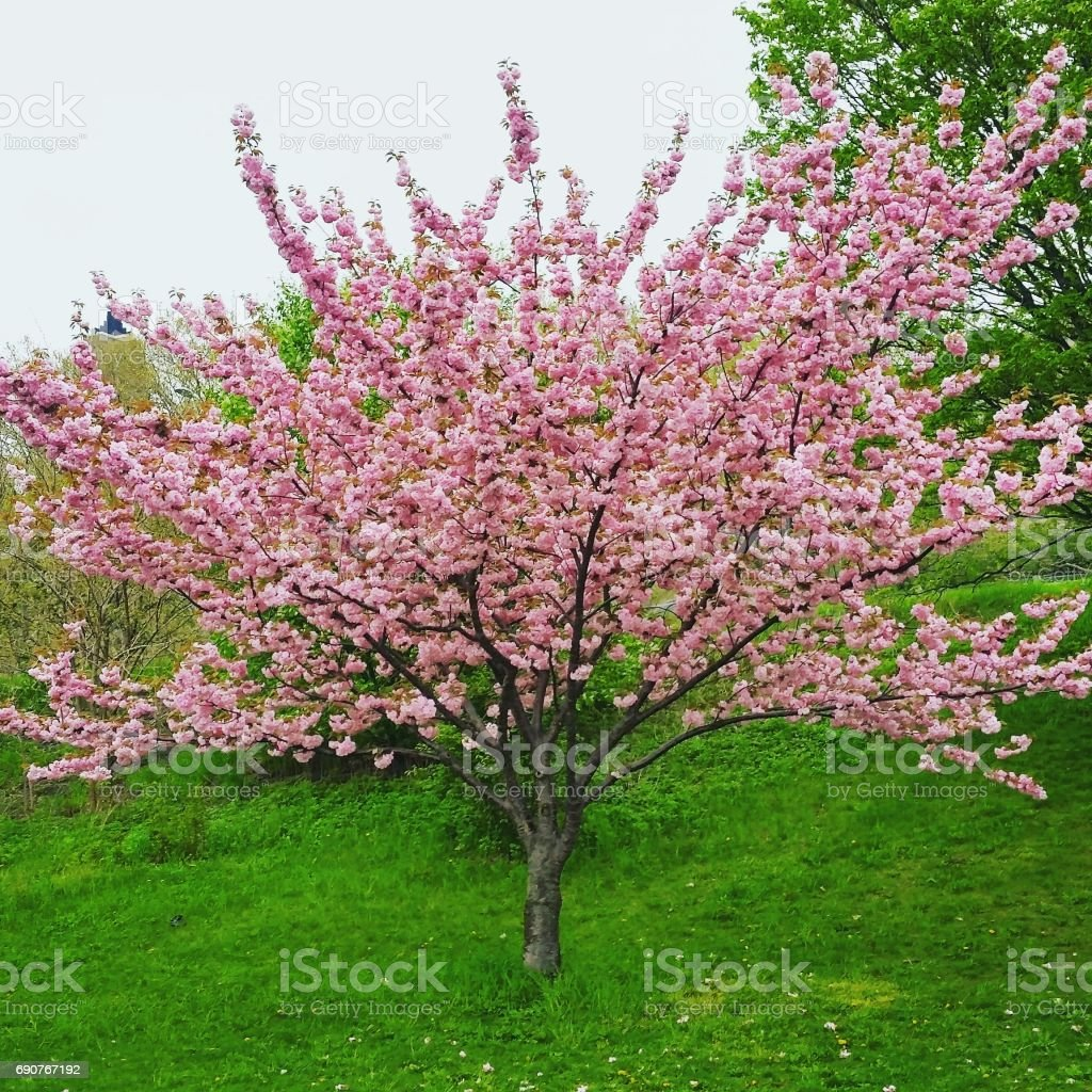 Riverside Park Cherry Blossom Tree in Spring Bloom NYC stock photo