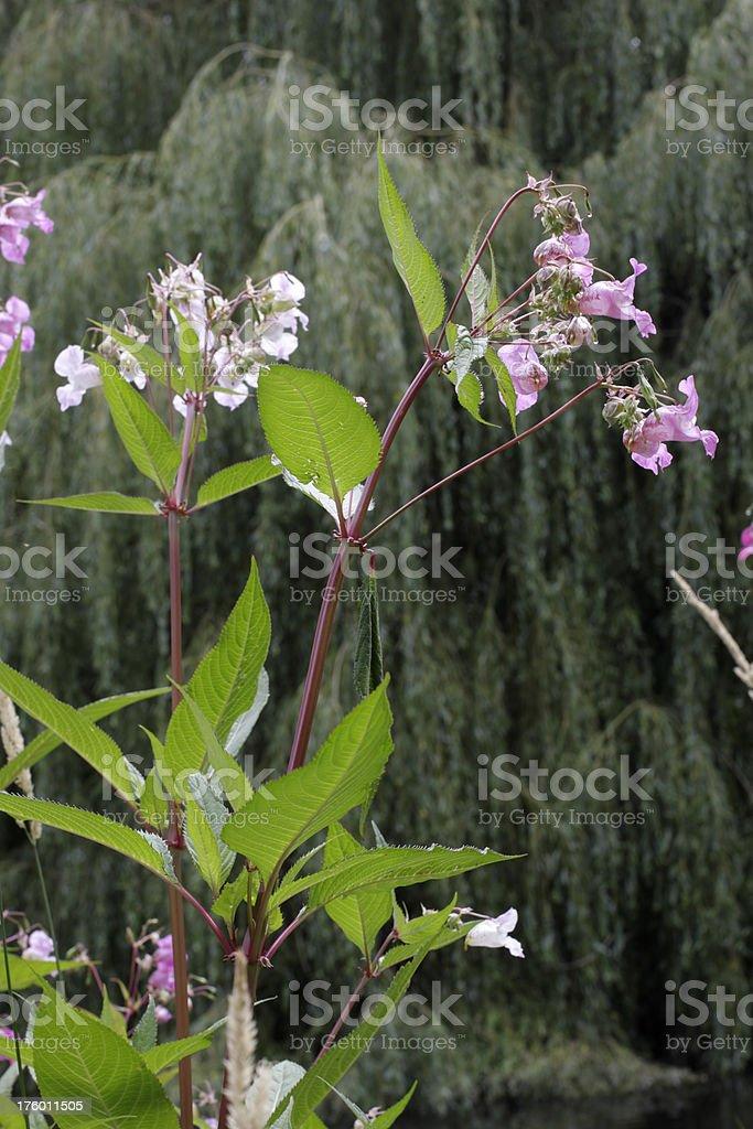 Riverside wildflower Indian balsam Impatiens glandulifera royalty-free stock photo