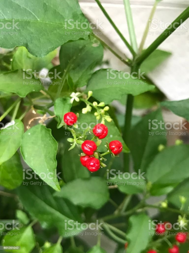 Rivina humilis or Pigeonberry or Bloodberry. stock photo