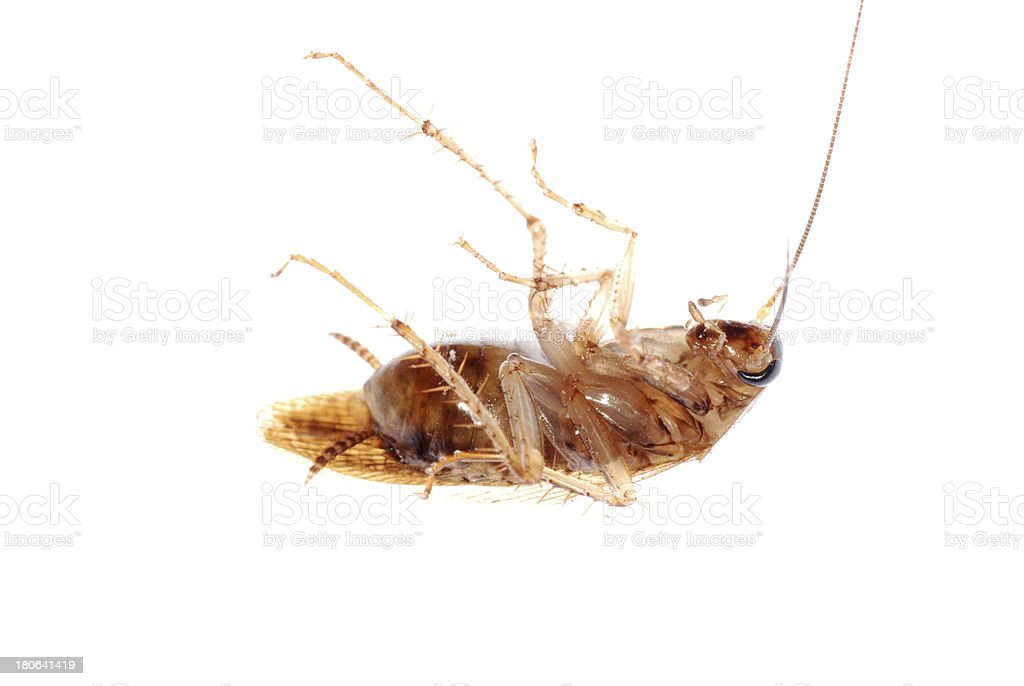 roach bug isolated royalty-free stock photo