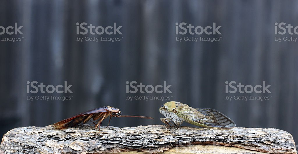 Roach by any other name...or an insect standoff royalty-free stock photo