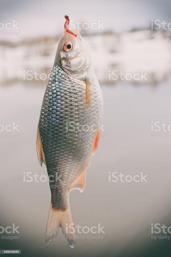 Roach on hook, winter landscape, toned stock photo