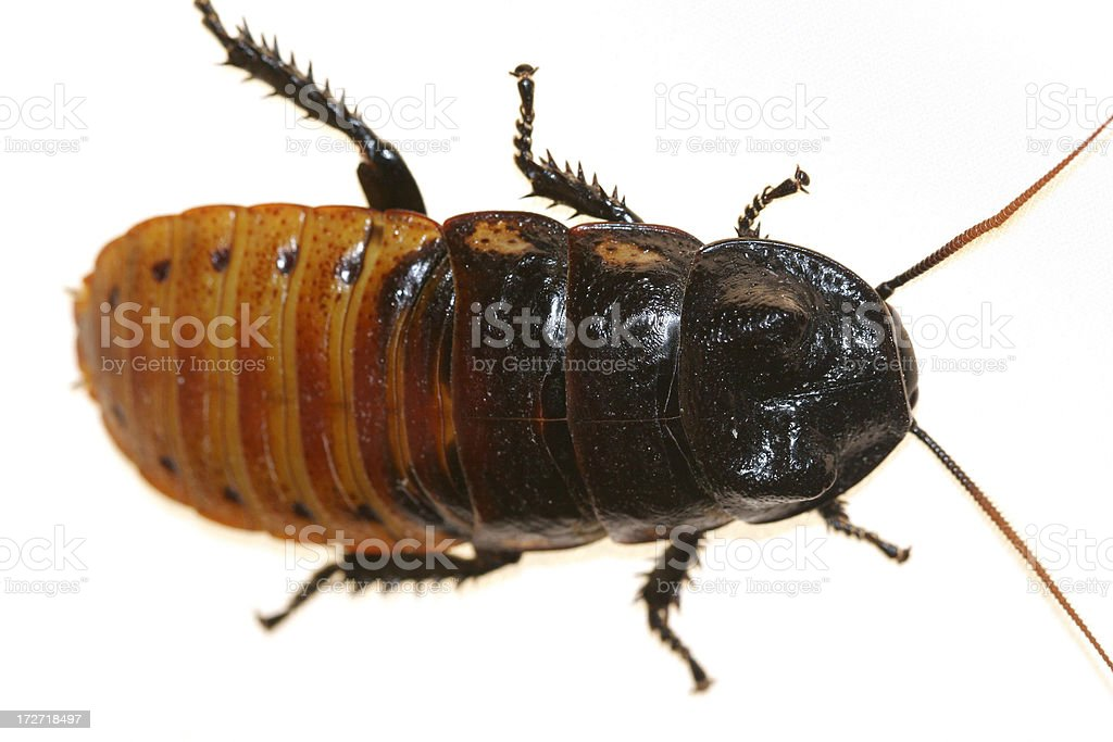 Roach royalty-free stock photo