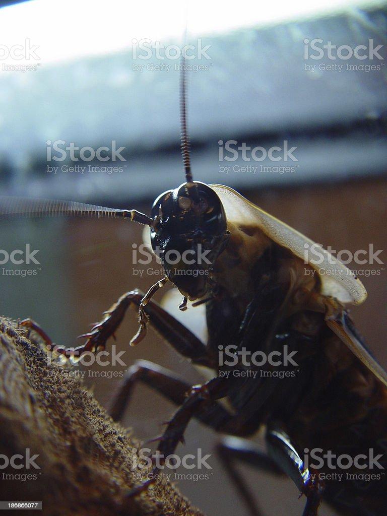 Roach royalty-free stock photo