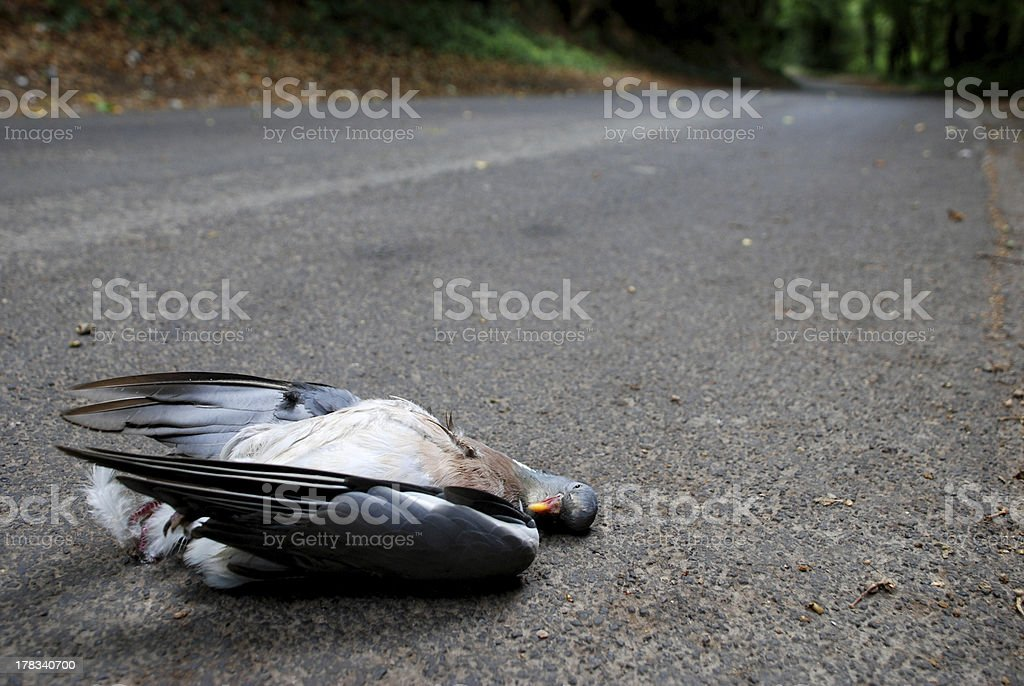 Road kill in a country lane royalty-free stock photo