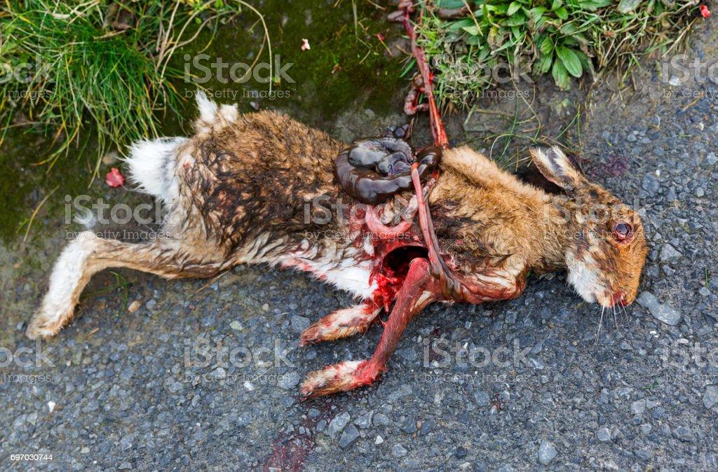 Road killed rabbit stock photo