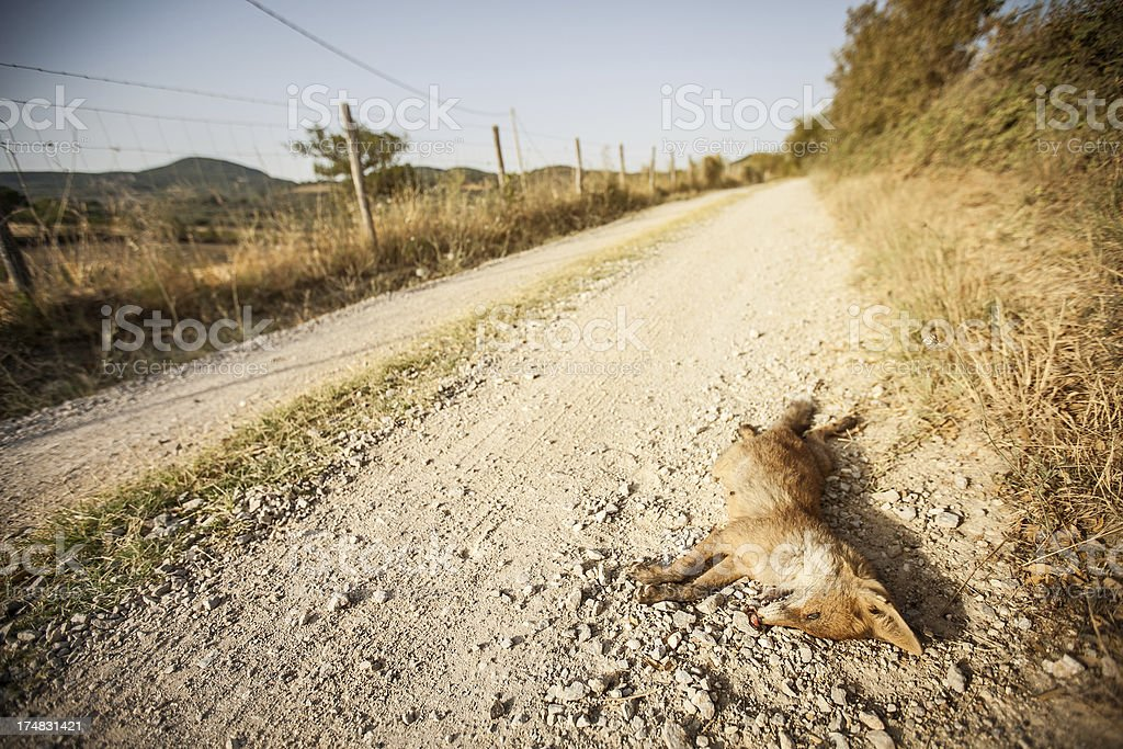Road killed Wildlife Red Fox royalty-free stock photo