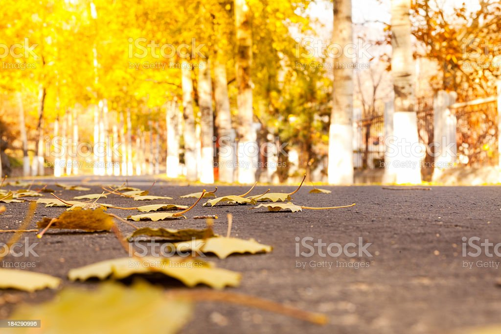 Road Lined with Autumn Trees royalty-free stock photo