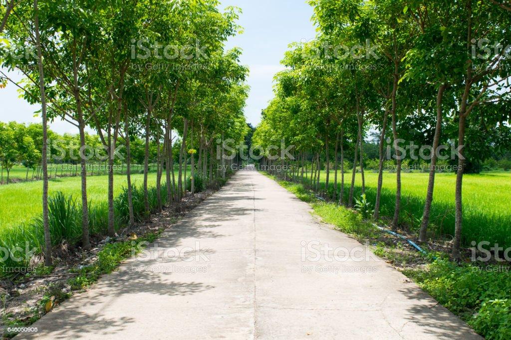 road near rubber trees stock photo
