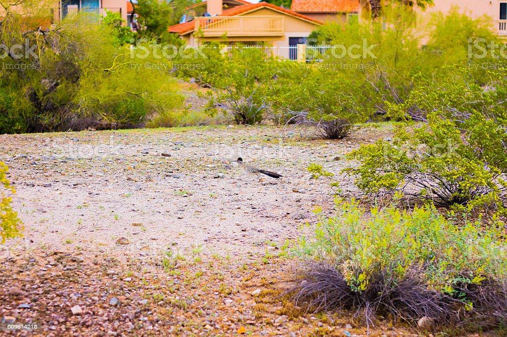 Road Runner in Arizona - Stock Image stock photo