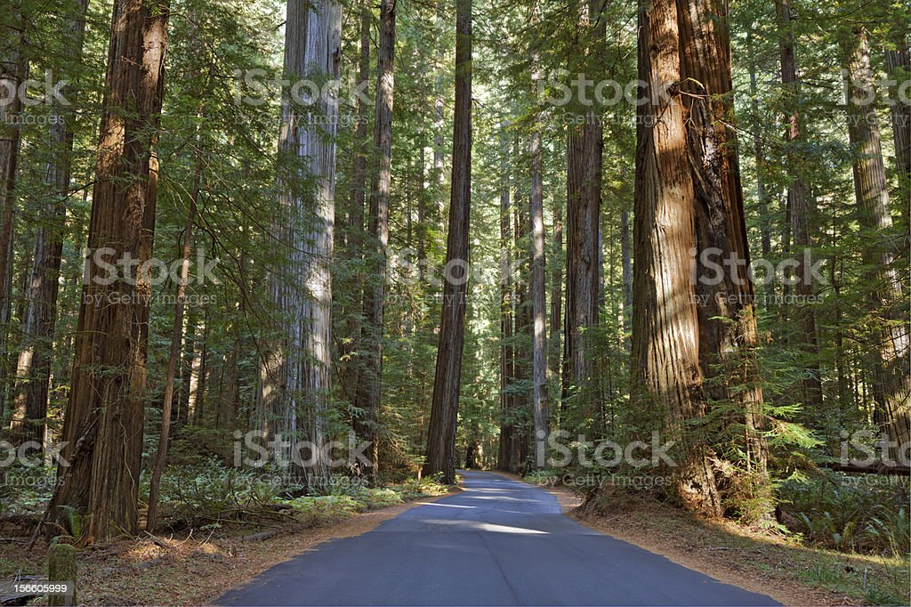 Road running through a redwood grove in California stock photo