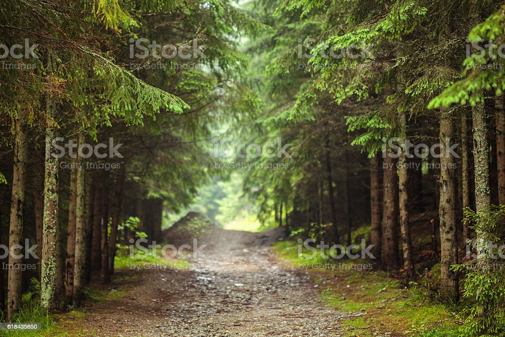 Road through pine forest stock photo
