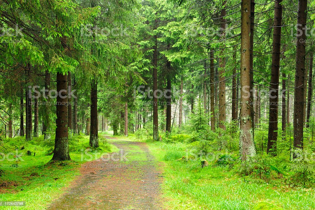 Road through Rainy Natural Spruce Tree Forest royalty-free stock photo