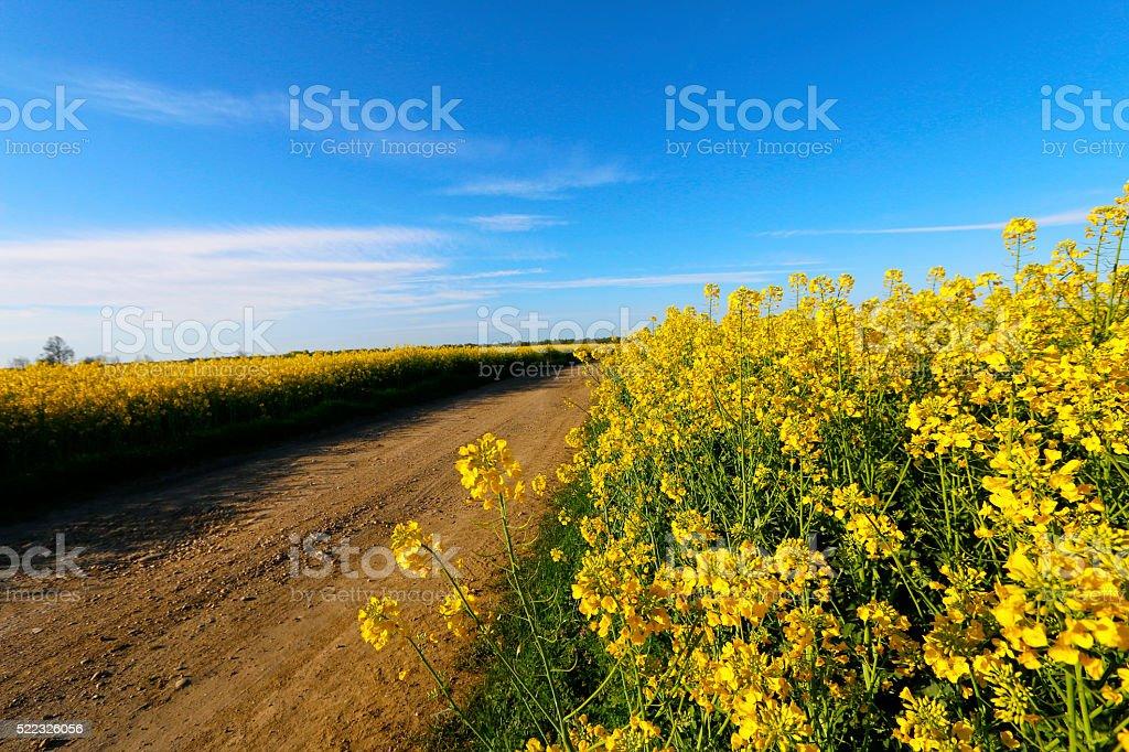 Road through rape field stock photo
