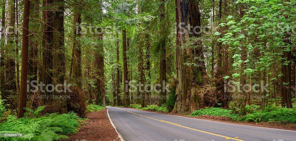 Road through Redwood Tree in spring Panorama stock photo
