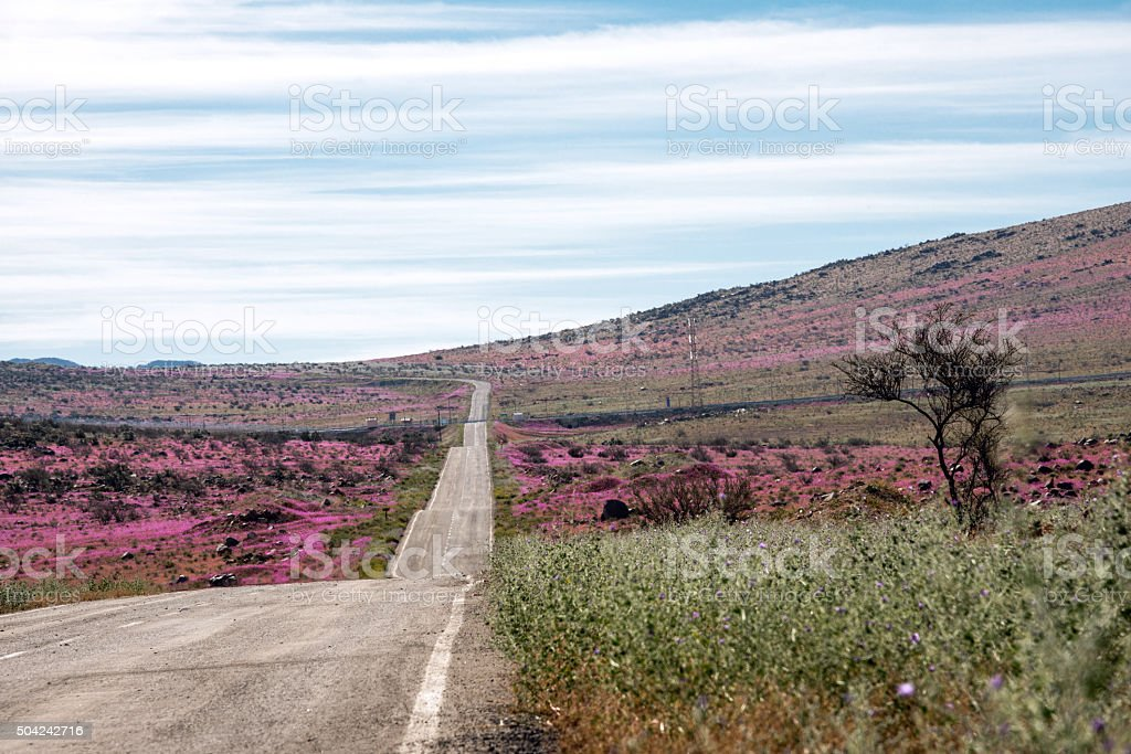 Road through the Flowering desert Atacama stock photo
