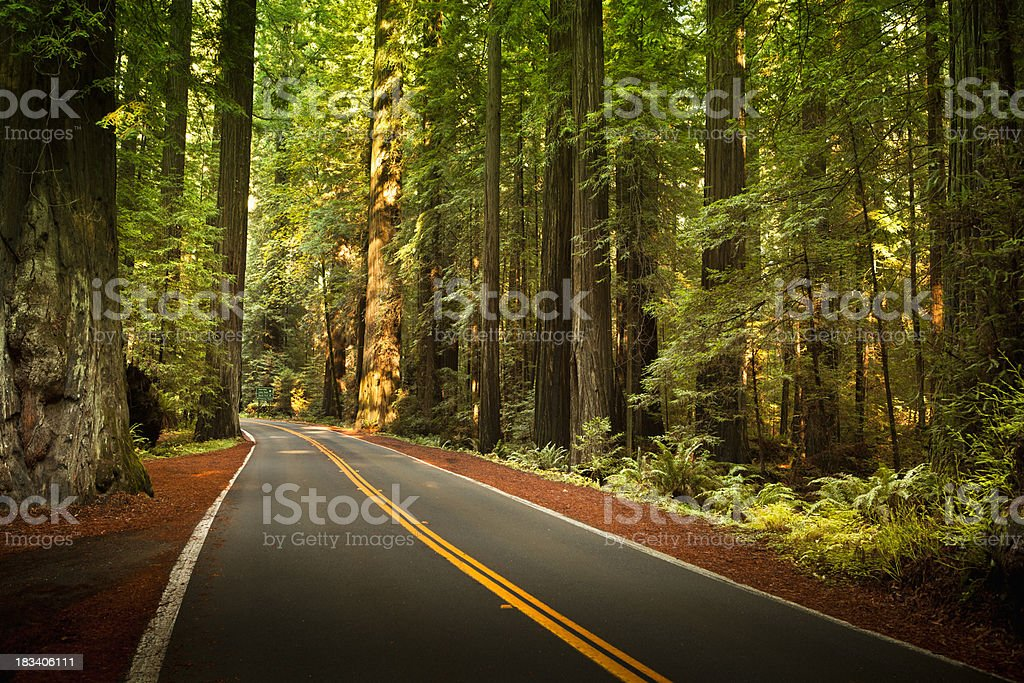 Road through the huge Redwood trees stock photo