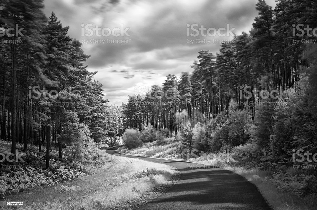 Road Through The Pine Forest stock photo