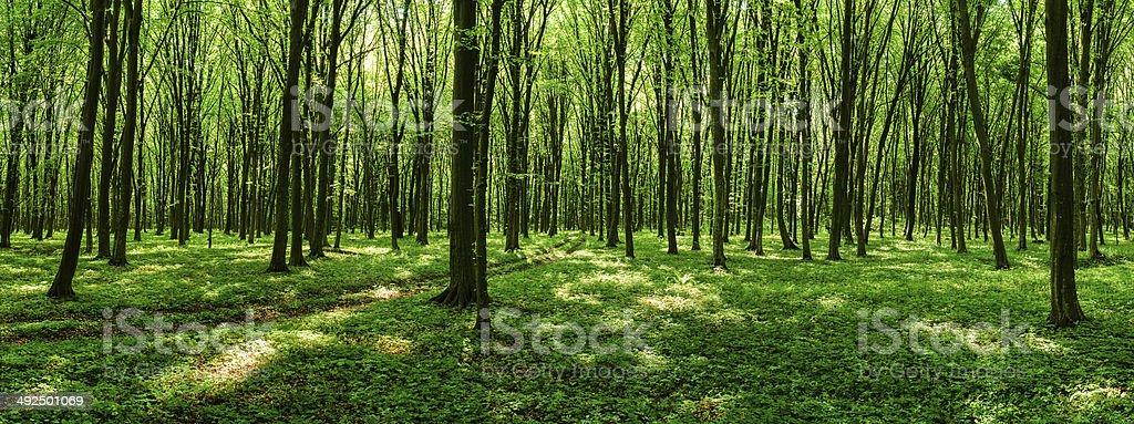 Route à travers la belle forêt de printemps photo libre de droits