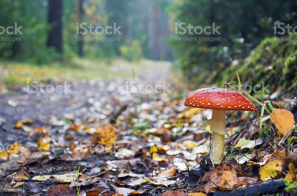 Road to autumn wood and the fly agaric royalty-free stock photo