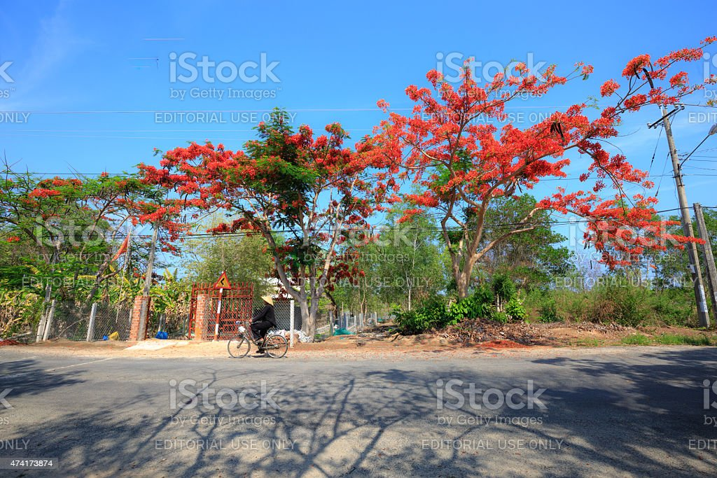 road with blooming flowers phoenix prominent brilliant blue sky stock photo