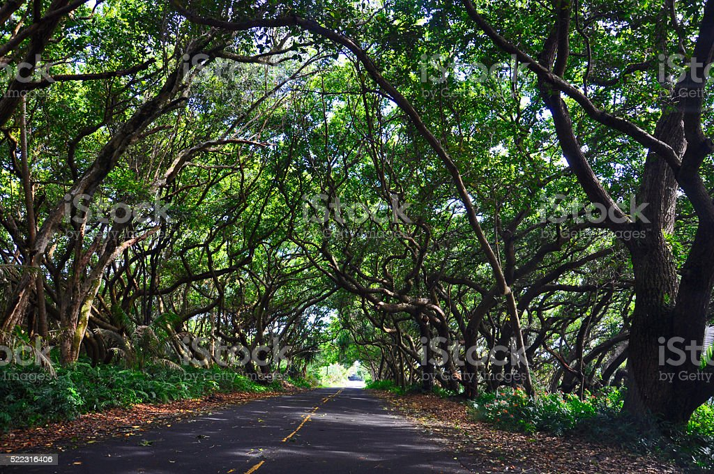 Road with canopy of trees royalty-free stock photo