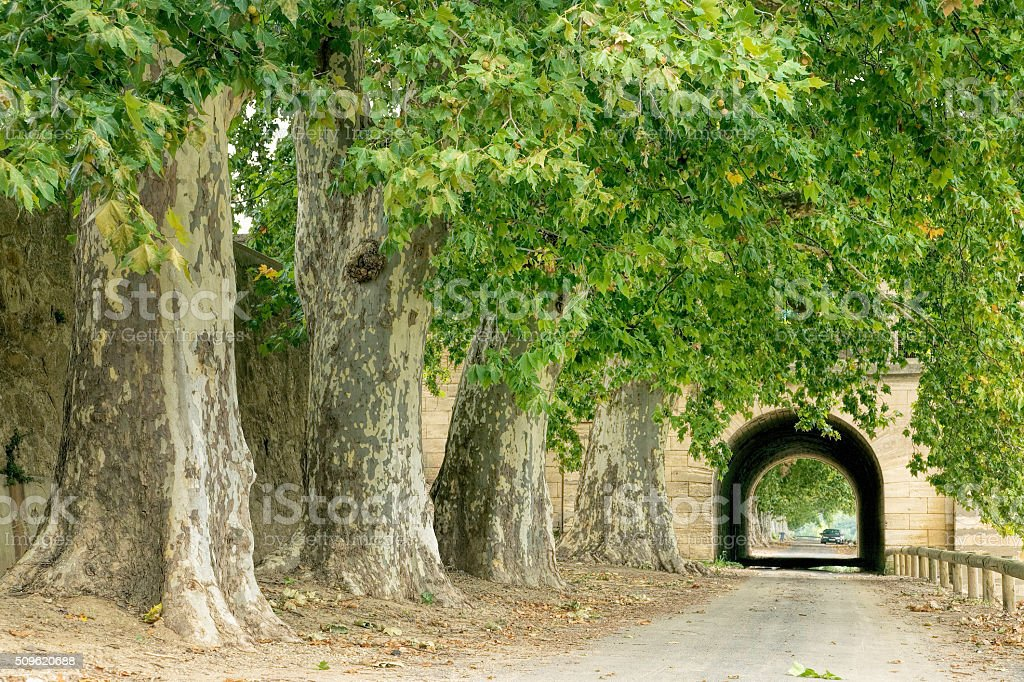 Road with tunnel behind plane trees in a row stock photo