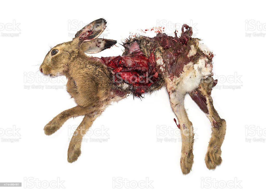 Roadkill dead Hare lying on the side, isolated stock photo