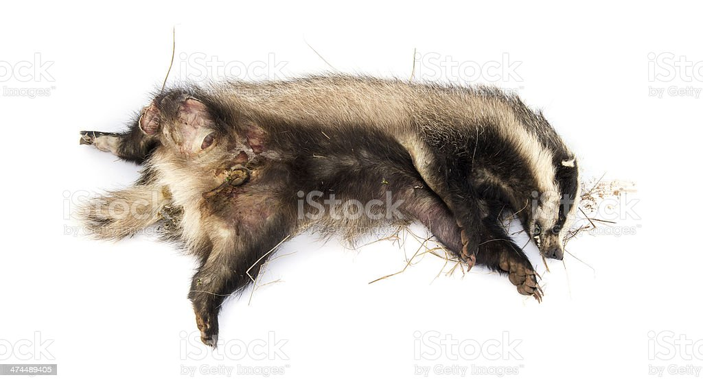 Roadkill European badger lying in state of decomposition stock photo
