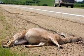 Roadkill & Highway safety