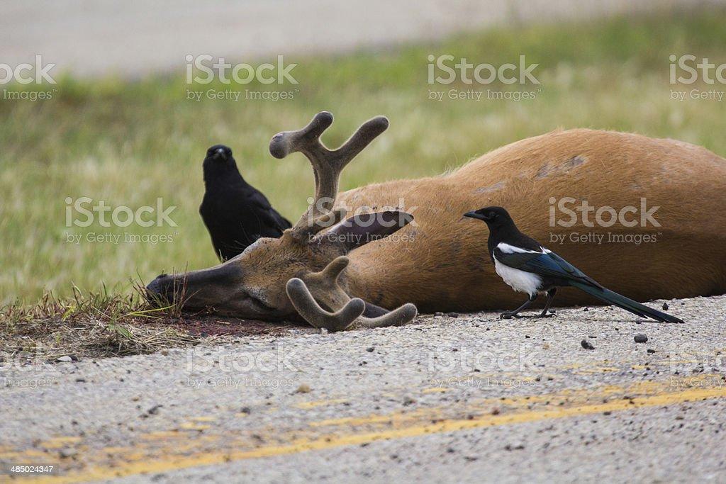 Roadkilled whitetail deer stock photo