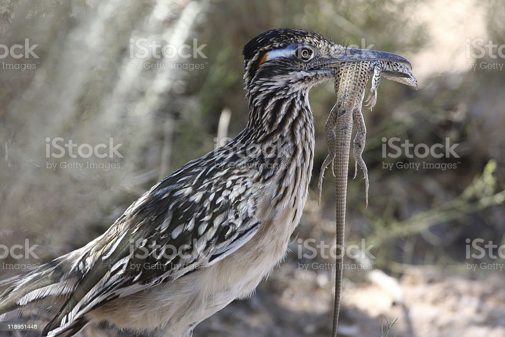roadrunner with lizard royalty-free stock photo