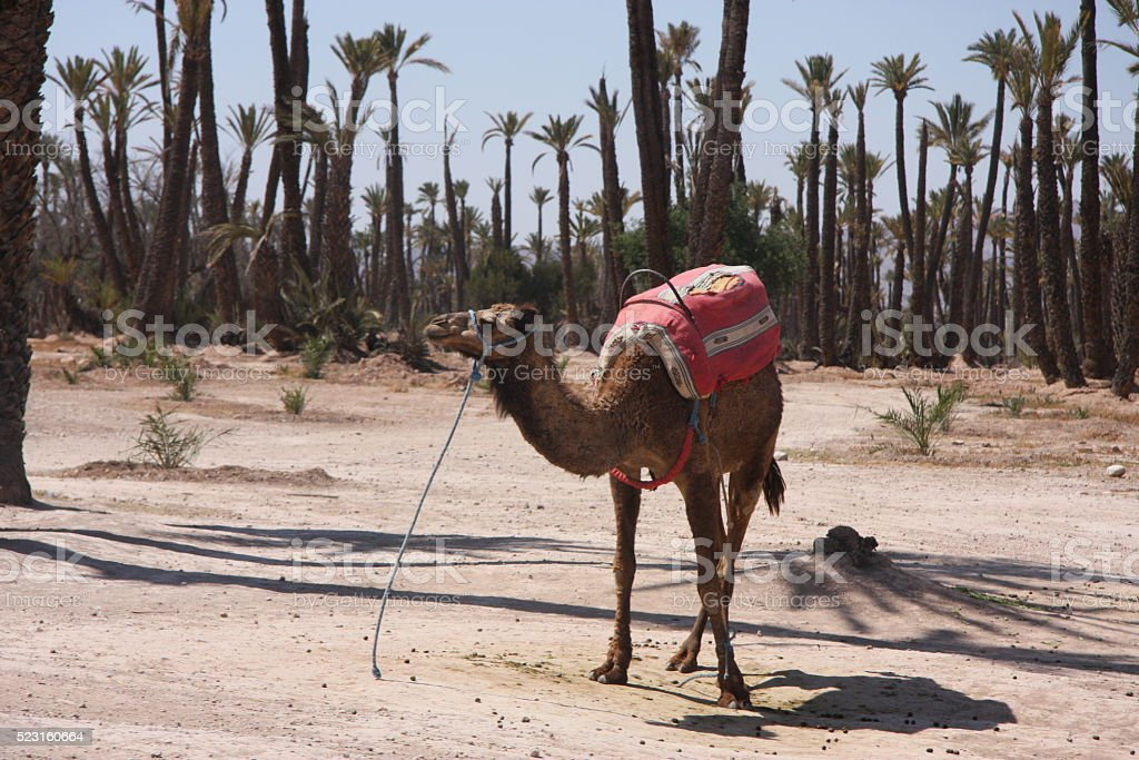 roadside camel stock photo