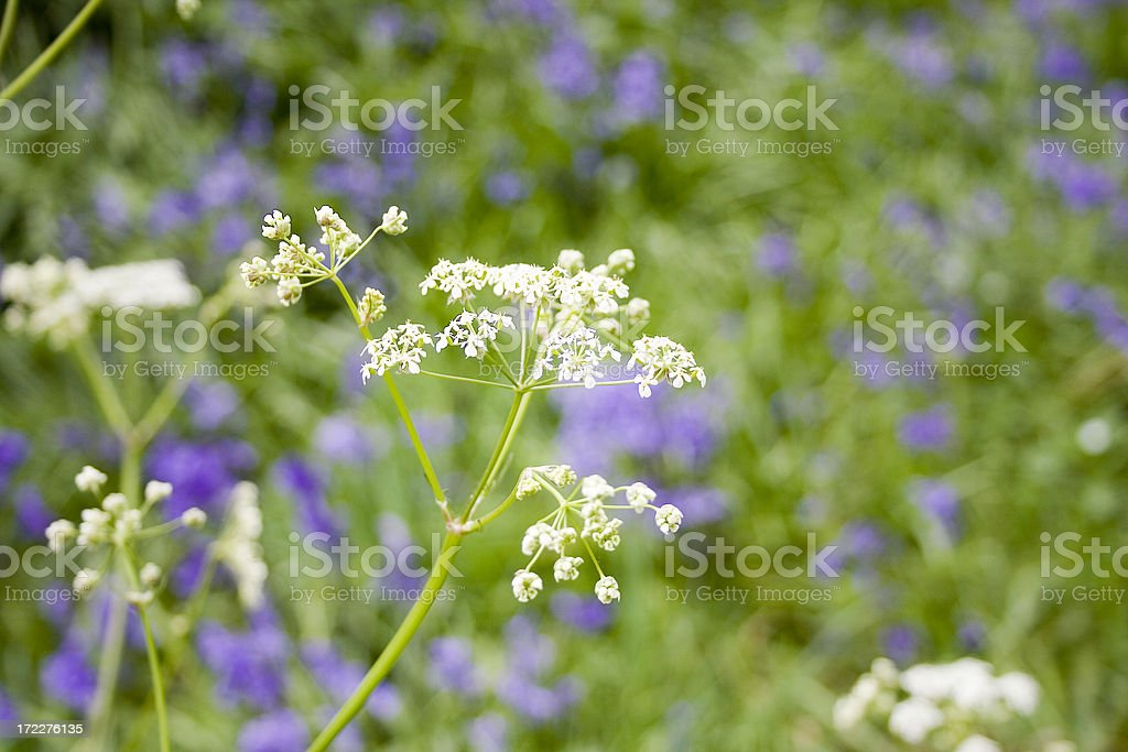 roadside cow parsley royalty-free stock photo